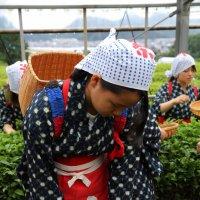 Сборщица зеленого чая :: Ilona An