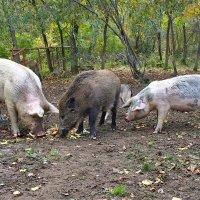 Притворюсь пожалуй я домашней свиньёй ... :: Александр Буланов