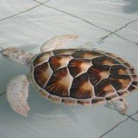 Морская черепаха :: Лариса (Phinikia) Двойникова