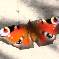 На земле сидела Бабочка :: Alexander