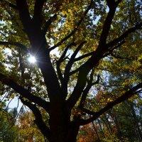Осенний дуб. :: Оксана