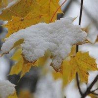 Снежная лапка старого клена.... :: Tatiana Markova