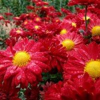 начало цветения хризантем :: Yuliya Soloviova Соловьева