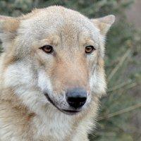 Волчица :: Олег Савин