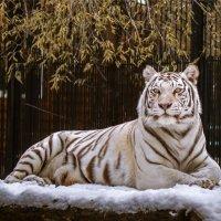 Бенгальский белый тигр (самка) :: cfysx
