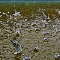 чайки :: Александр Корчемный