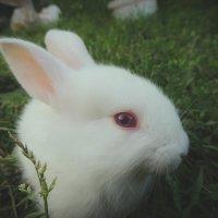 Кролик-альбинос :: Алексей Гладышев