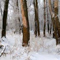 Зимние зарисовки...лес :: Евгений Клинков