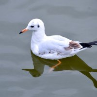 Озерная чайка :: Nina Streapan