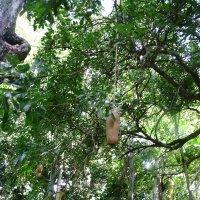 Кугелия или колбасное дерево. :: Ольга Васильева
