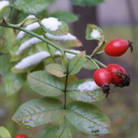 первый снежок) :: Тарас Золотько