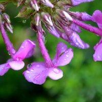 Роса на цветке :: Марина Романова