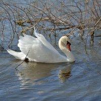 Лебеди остались зимовать 1 :: донченко александр
