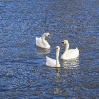"""Лебеди в городе. Навострили """"ушки"""", может что и перепадёт. :: Маргарита Батырева"""