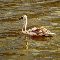Лебеди в городе. Молодой лебедь. :: Маргарита Батырева