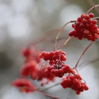 Калина красная в октябре. :: Аnatoly Polyakov