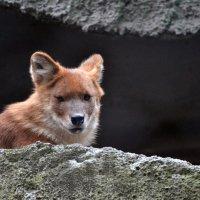 Красный волк :: Сергей Стреляный