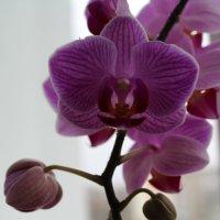 орхидея :: Ирэн