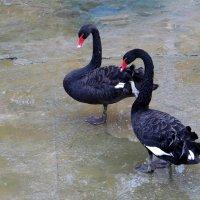 О верности спроси у лебедей... :: Татьяна Смоляниченко