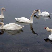 Не лябяжем озере :: Alexander