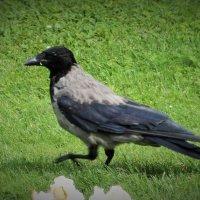 ворона :: kuta75 оля оля