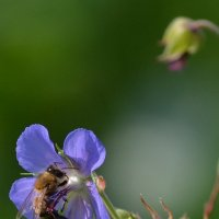 Пчелка :: Ярослав Смольянов