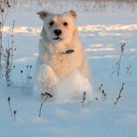 Снежный пёс. :: Иван Сурков