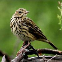 лесной конек :: Gavrila68 -Женя