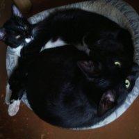 Девочки кошки Мотя и Фрося. :: Ольга Кривых