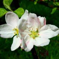 яблоня цветет :: оксана