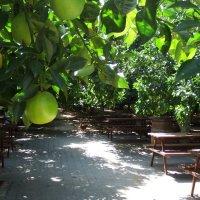 Апельсиновый рай. :: Лара ***