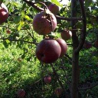 Яблочки :: Oleg Arince