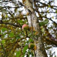 берёзовое яблоко :: евген03 Левкович