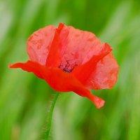 Маковый цвет :: Swetlana V