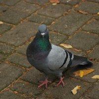Если бы голуби делали сэлфи, они б это делали вот так!))) :: Валентина M