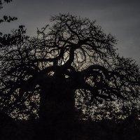 Баобаб при луне. ЮАР :: Serb
