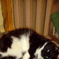 Домашняя кошка Глаша. Ей уже 6 лет. (Санкт-Петербург). :: Светлана Калмыкова