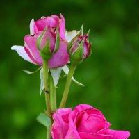 Розы :: Ксения Лабуш