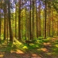 Утро в сосновом лесу :: Юрий Спасенников