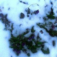 Фиалки под снегом :: Наталья Петровна Власова