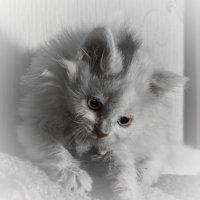 Белый котенок :: Дмитрий Кузнецов
