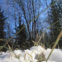 Встреча снега и травы :: Татьяна Корнеева