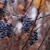 виноград :: Viktor Eremenko