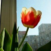 Тюльпан на окне. :: Надежда