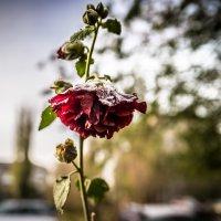Роза в снегу :: Иван Синицарь