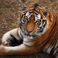 Амурский тигр :: Nyusha