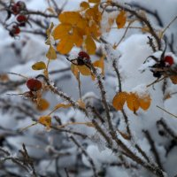 Зима. Ноябрь. Шиповник. :: Larisa Freimane