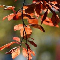 Раскрасила осень ветки :: Nina Streapan