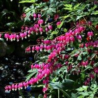 Плачущее сердце, или дицентра — давно известный, очень привлекательный цветок. :: Владимир Ильич Батарин