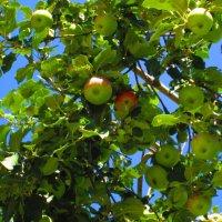 Урожайное лето :: Самохвалова Зинаида
